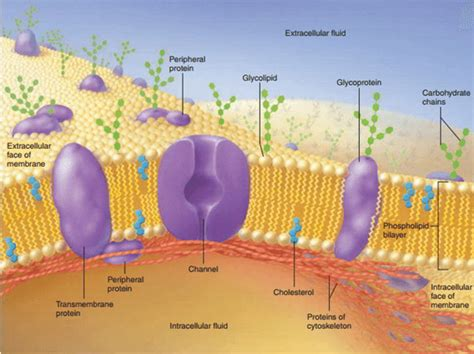 Cell Membrane (Plasma Membrane) – Structure Function and