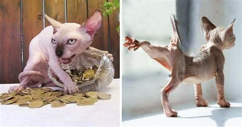 30 Reasons Why Sphynx Cats Are Not Just Cool, They're